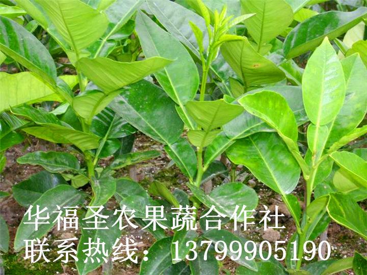 红肉脐橙苗报价-红肉脐橙苗种植基地【湖南红肉脐橙苗批发种植价格】