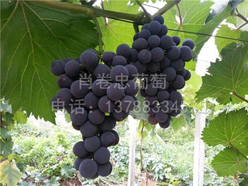 广西南宁玫瑰香葡萄