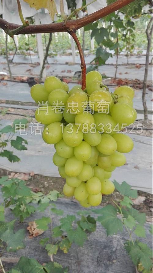 广西柳州玫瑰香葡萄