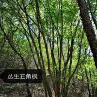 山东丛生五角枫种植基地批发价,丛生五角枫种植基地河北丛生五角枫-批发-供应商-价格
