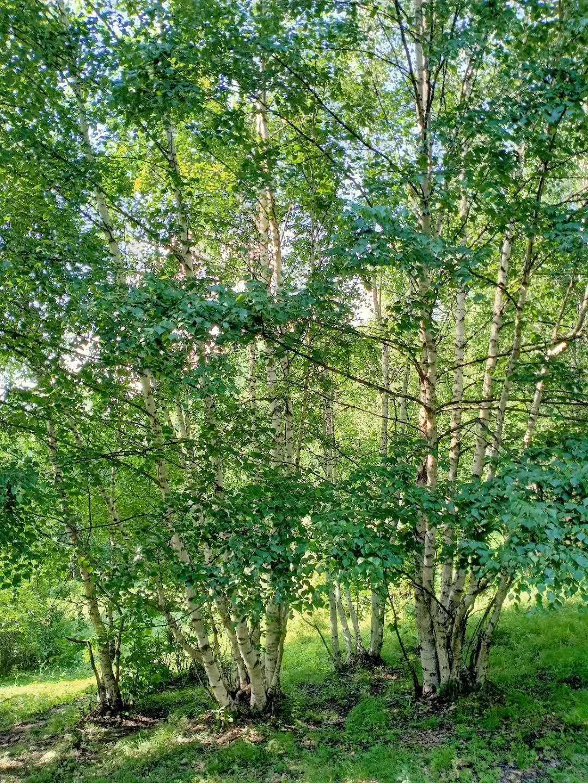 山东丛生白桦种植基地,山东丛生白桦供应商,山东丛生白桦价格