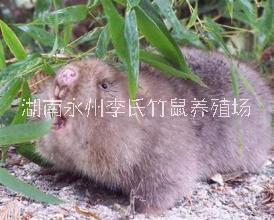 湖南永州竹鼠批发,永州竹鼠直销,常年提供优质竹鼠