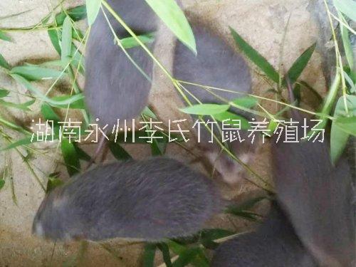 湖南株洲竹鼠养殖场,张家界竹鼠养殖场,长沙竹鼠养殖场