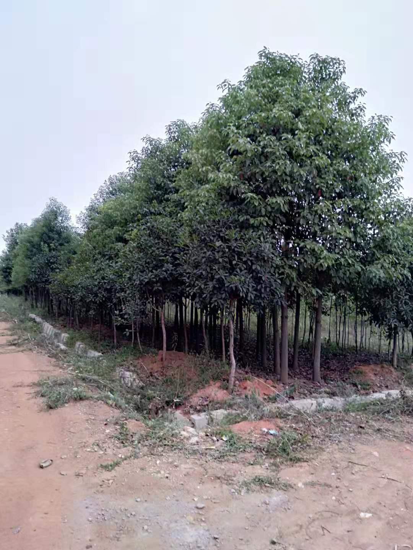 江西大叶香樟苗木基地供应