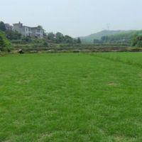 海南绿化草皮供应价格、价钱、批发【海南草皮绿化】