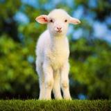 波尔山羊的养殖方法-供应羊饲料厂家