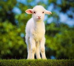 波尔山羊的养殖方法图片