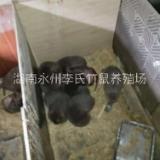 湖南永州竹鼠养殖场,永州竹鼠养殖基地,特种经济动物养殖竹鼠种苗