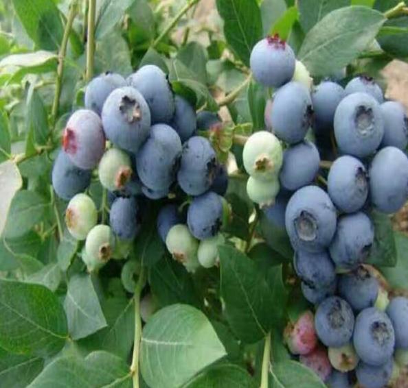 大型蓝莓苗基地批发价-价格多少钱-培育蓝莓苗及蓝莓种苗【泰安高新区北集坡海彬园艺场】