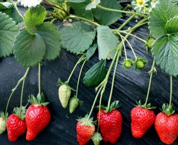山东泰安草莓苗基地-山东泰安草莓苗批发价格【泰安高新区北集坡海彬园艺场】