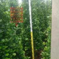 杭州火山榕种植基地批发