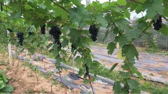 专业种植甜密蓝宝石葡萄苗-葡萄苗种植基地-价格-种植技术