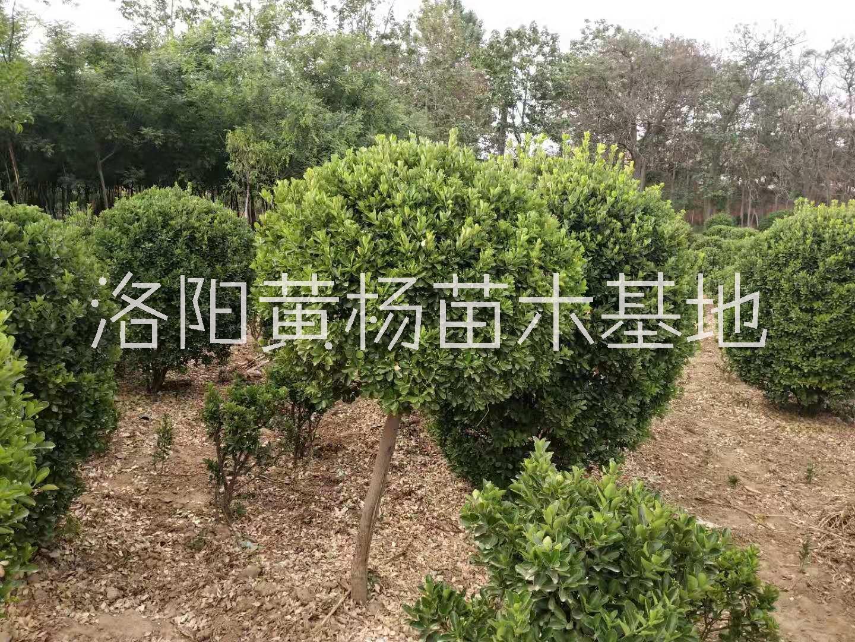 洛阳专业种植黄杨造型树基地-河南黄杨造型价格-河南苗木场