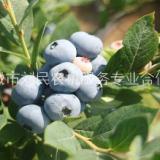 蓝莓苗供应,绿宝石,莱格西,价格,多少钱一棵【肥城市刘民农机服务专业合作社】