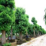 湖南香樟树批发基地-各种规格香樟批发-种植苗圃-电话