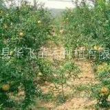 石榴树种植基地-优质石榴批发-花石榴价格-种植技术
