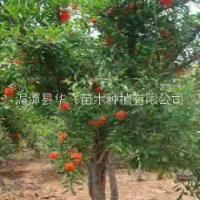 优质花石榴种植技术-月季石榴价格-批发-批发各种规格石榴树