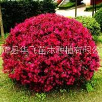 红花檵木种植技术-贵州遵义市红继木种植基地-贵阳苗木场