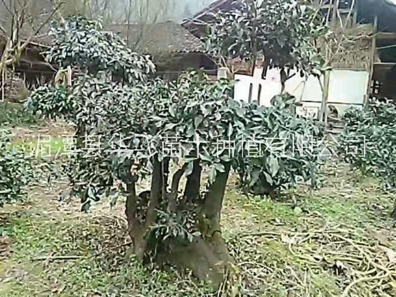 优质金弹子价格-贵阳大量批发绿化苗木-景观苗木