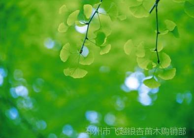 绿化银杏树批发价 绿化银杏树苗供应