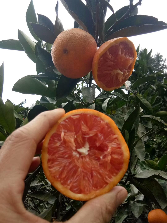 卡拉卡红肉脐橙苗基地供应商种植多少钱一颗报价电话