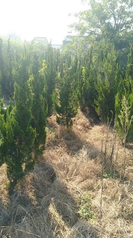 优质龙柏种植基地哪家好?