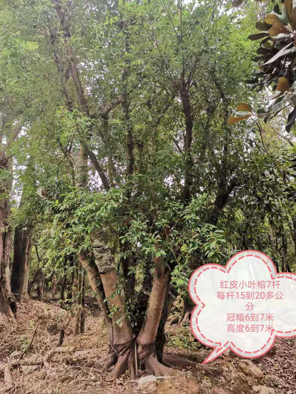 温州多杆7杆红皮小叶榕基地供应