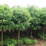 红花木莲价格-红花木莲种植技术-批发各种树苗