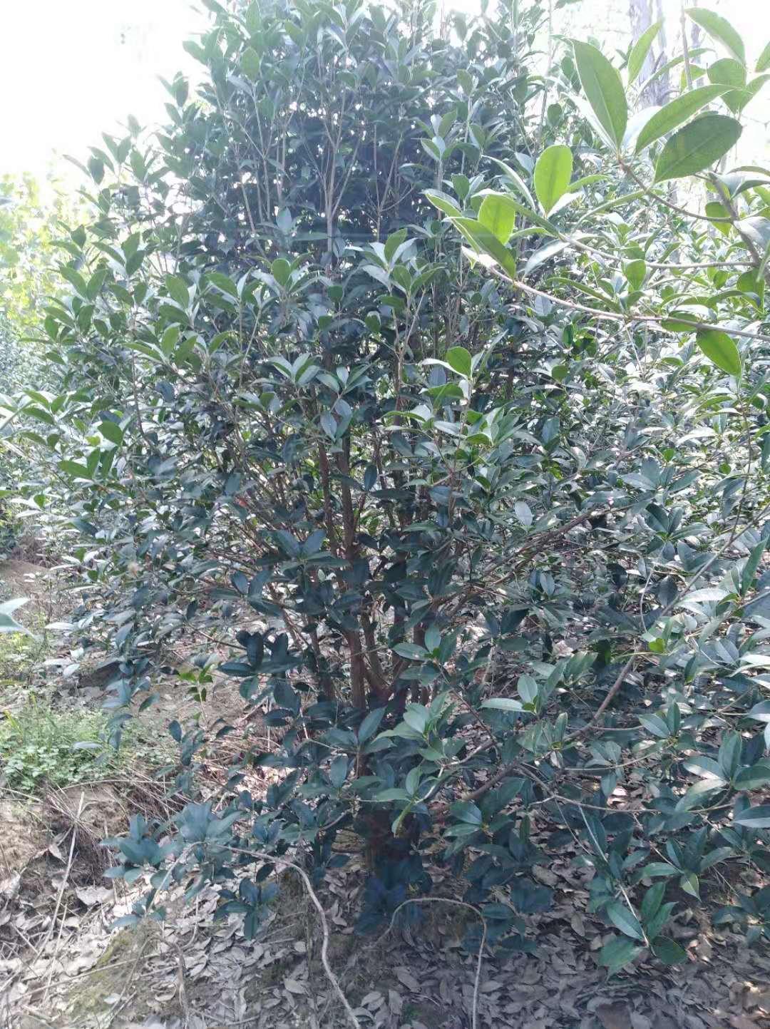 安徽桂花树种植基地哪家好?