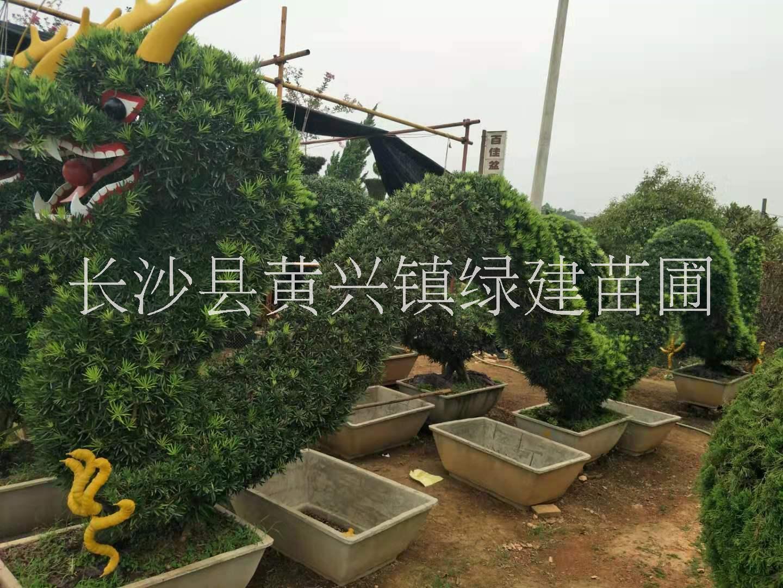 广州市专业设计动物造型树,现货批发动物造型树,造型树栽培基地