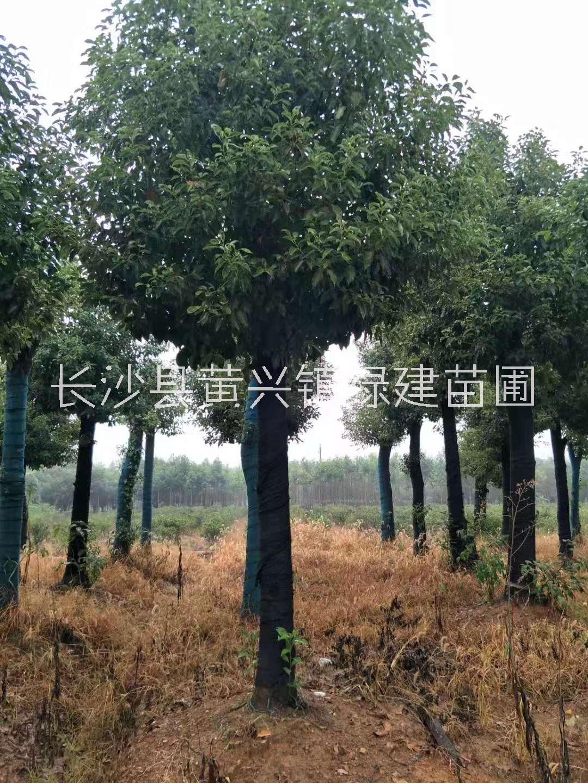 长期供应丛生香樟基地直销,湖南专业培育丛生香樟树苗种植基地,湖南丛生香樟水供应商