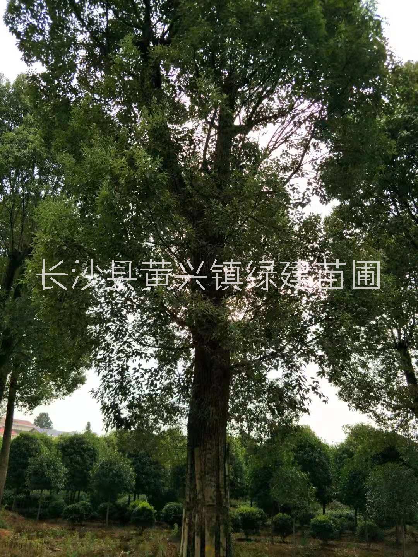湖南长沙市批发丛生香樟,袋苗香樟,各种规格香樟树价格