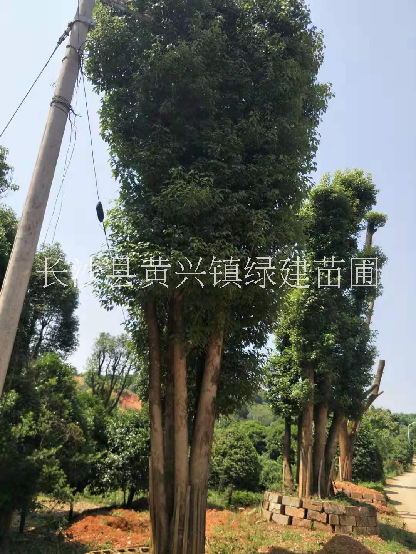 湖南永州市袋苗香樟价格 香樟种植基地 各种规格现货