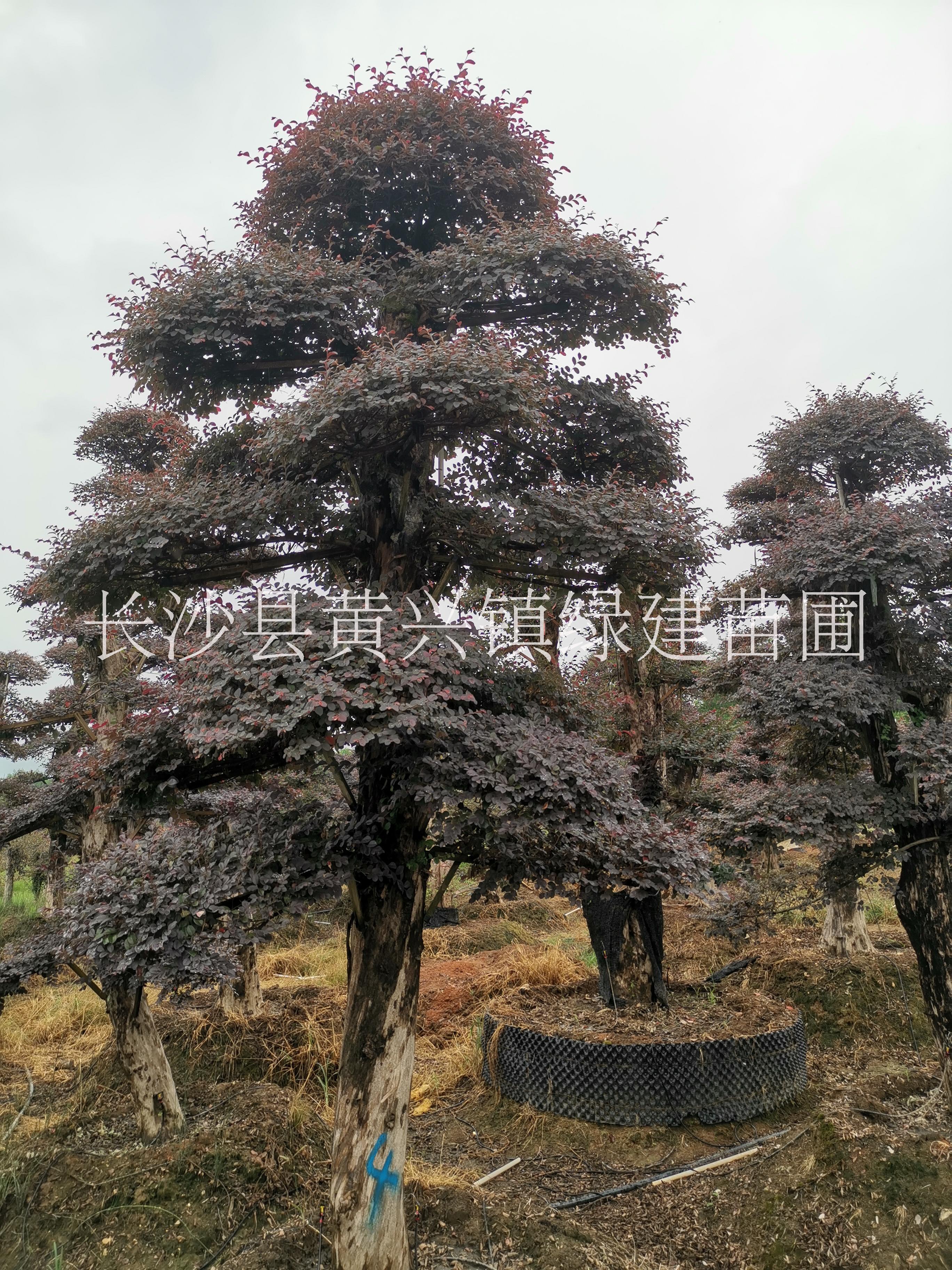 云南造型红梽木桩子种植基地,云南优质造型红梽木桩子批发价,云南造型红梽木桩子供应商