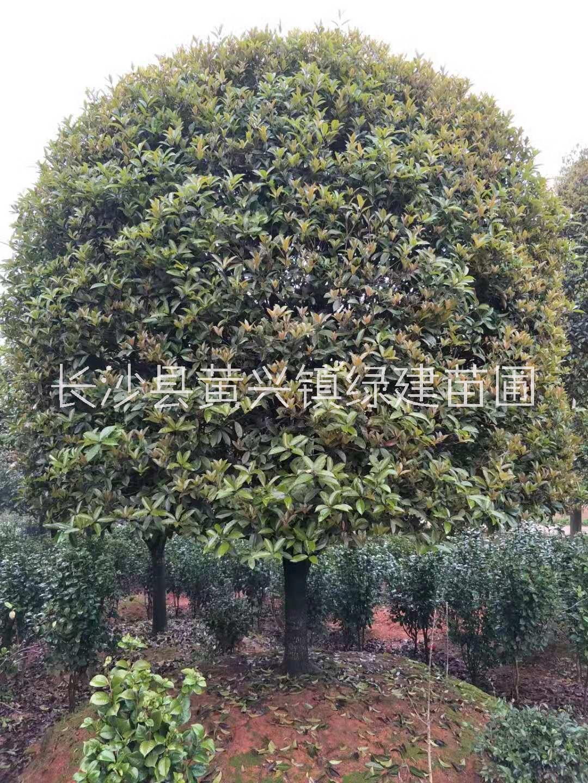 专业培育茶花盆景造型 精品茶花价格 大量批发 现货
