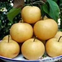 二年生晚秋黄梨苗供应商|晚秋黄梨树苗种植基地|晚秋黄梨树苗哪里好