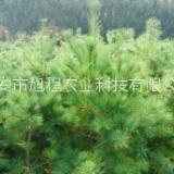 泰山市2-5米华山松树苗-价格-批发-基地