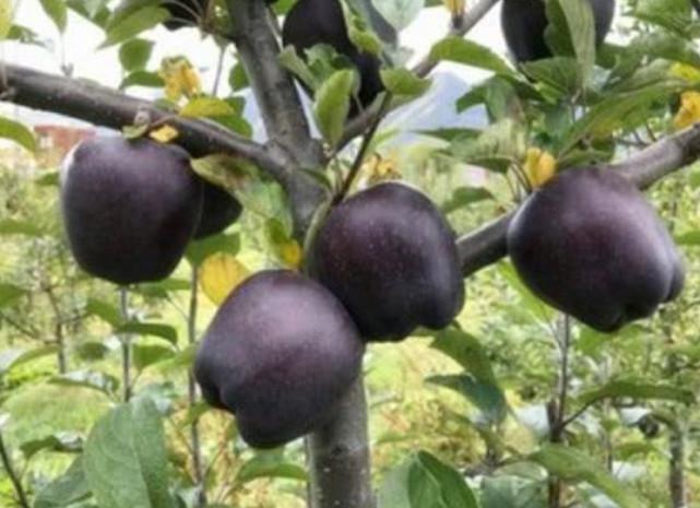 周口黑钻苹果苗批发 黑钻苹果苗 0.5~1米 价格8元/株 苹果苗供应 品种齐全 量大从优
