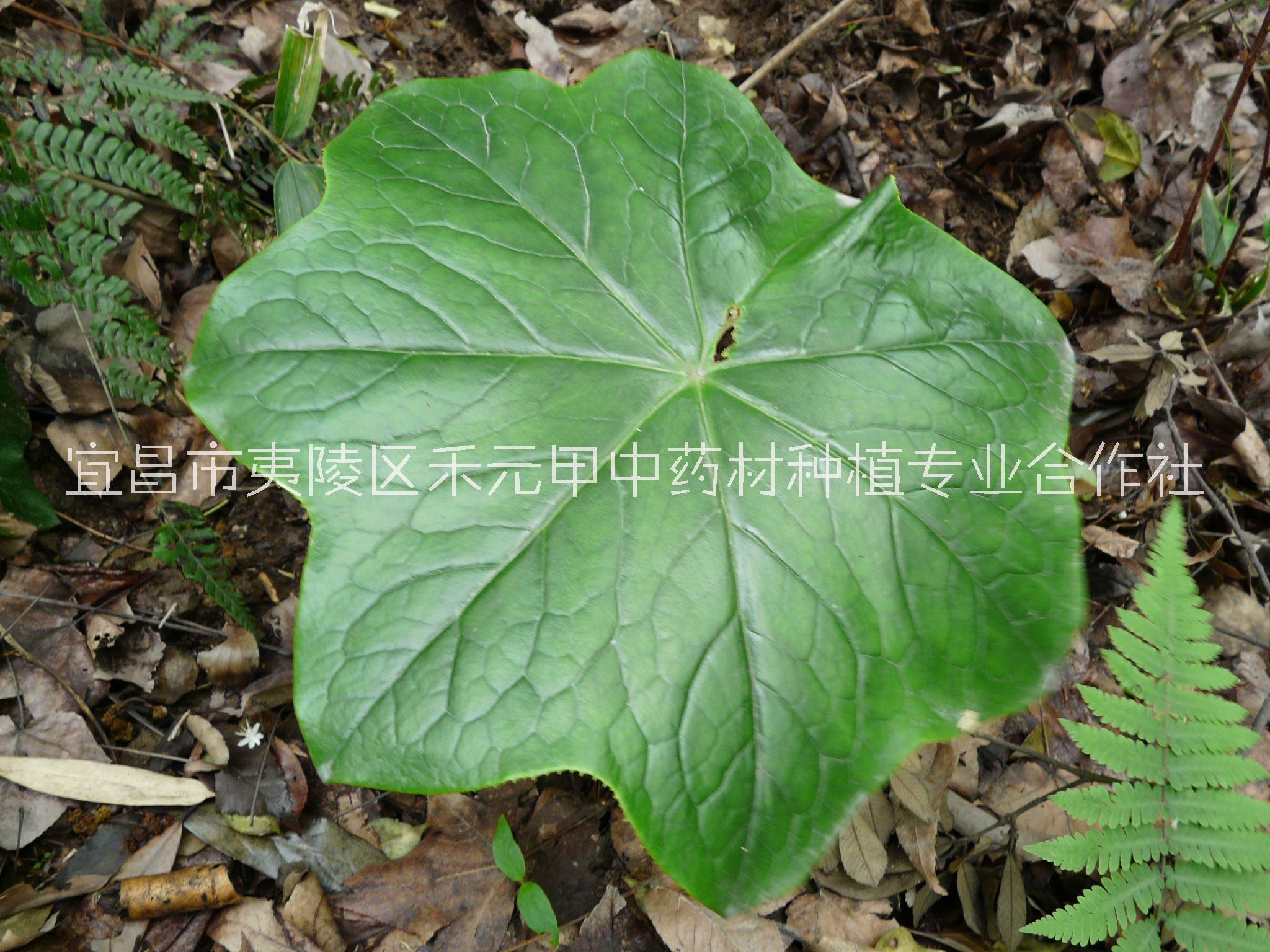 八角莲种子种苗种植基地批发