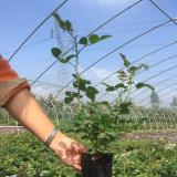 家庭盆栽绿化工程苗月季花盆栽苗