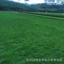 湖南绿化草皮种植图片
