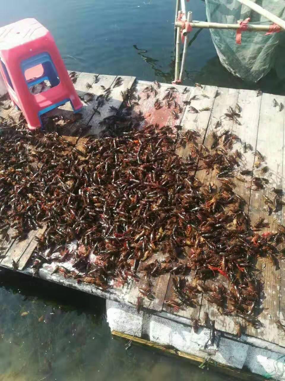 龙虾苗养殖价格|温州小龙虾苗养殖场| 小龙虾养殖市场 龙虾苗养殖价格