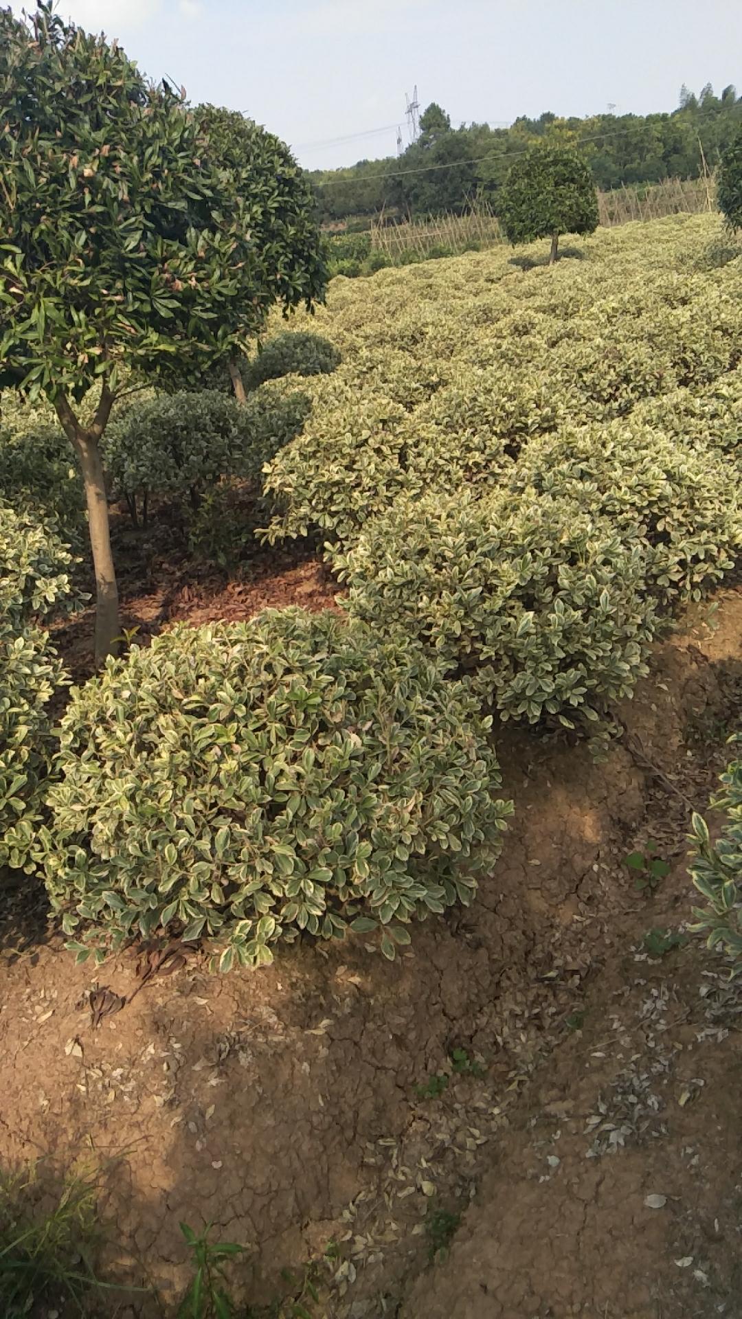 湖南大叶黄杨种植基地 大叶黄杨哪里的有卖 大叶黄杨球子批发 大叶黄杨