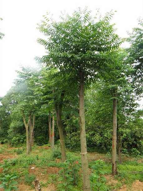 江西栾树15公分种植1,2,3,4,5,6,7公分种植批发【九江华涛园艺有限公司】