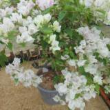 泉州市三角花种植基地 大量批发三角花 苗圃电话