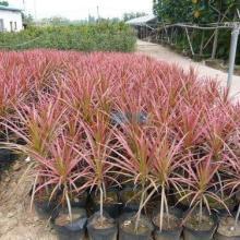 莆田市马尾铁种植基地 马尾铁价格哪里便宜 低价出售各种园林苗木