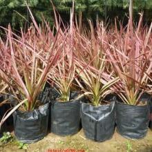 大量供应马尾铁 漳州市千年木种植基地 低价订购绿化苗木