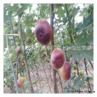泰安市波姬红无花果树苗-供应商-价格-批发-报价