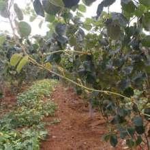 果玩红阳猕猴桃苗猕猴桃嫁接苗易种活产量高