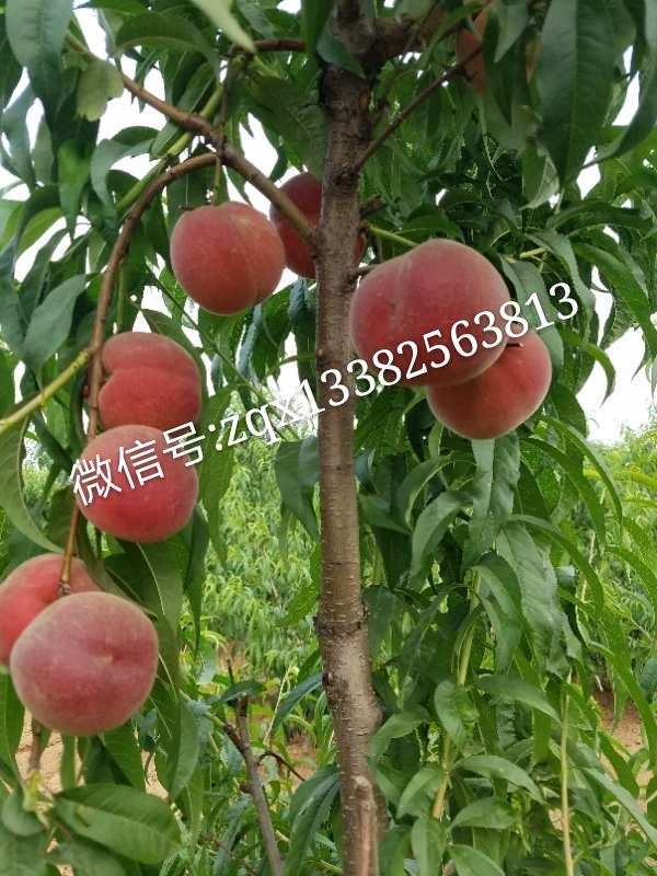 春丽桃树种苗价格、批发、报价【兴化市猕梦园花木种植场】春丽桃树种苗直销
